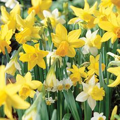 Narcissus triandrus   Narsissi, sekoitus