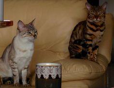 Bengalcat breeder kitten kitty cat