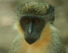 Vervet Monkey, Kololi Gambia