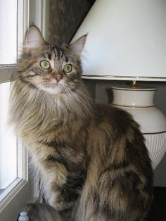 maine coon: Reminds me of my Kitty..