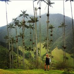 Cocoro Valley in Salento, Colombia. Home of the gorgeous national tree, the Wax Palm #colombia #palmtree #cocorovalley #salento #travelpix #doyoutravel