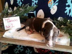 Hoots Catahoulas puppies for sale see our Facebook page for more information shipping available