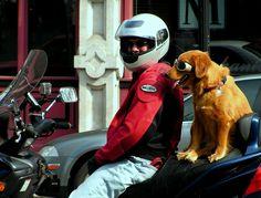 Golden riding companion.