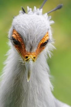 Why does this bird have better eyelashes than I do? I'm sorry, WAY better.  Stunning secretarybird (by SnowPoring)