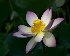 Chamber of Secrets: Lotus flower - and the Norwegian national flower