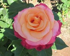 """""""Heart of Gold""""-Rose"""