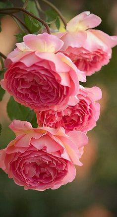 New Flowers Pink Roses Ana Rosa Ideas