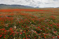 Armenia: field of poppies. This is what much of the countryside looked like...