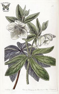 Helleborus olympicus. Illustration by Sarah Ann Drake. (1842) | Flickr - Photo Sharing!