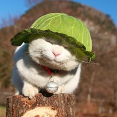 Cabbages keep Kitty cool part Animals And Pets, Baby Animals, Funny Animals, Cute Animals, Wild Animals, I Love Cats, Crazy Cats, Cool Cats, Neko