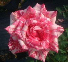 Candy Stripe rose  http://thegardeningcook.com/amazing-rose-photos/