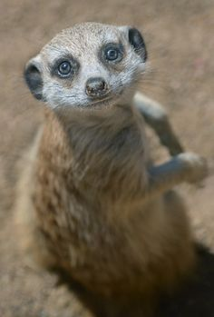 A young meerkat wants to be your friend at the San Diego Zoo. Photo by Ion Moe