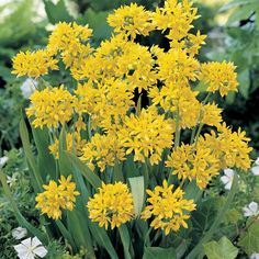 Allium Moly A cheery allium in vivid yellow that will burst into bloom in June and July.