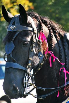 Medieval Times Friesian with hot pink bows