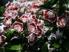 Berglorbeer / Lorbeerrose 'Minuet' - Kalmia latifolia var. myrtifolia 'Minuet' - Baumschule Horstmann Kalmia Latifolia, Gras, Plants, Root System, Little Gardens, Botany, Branches, Plant, Planets