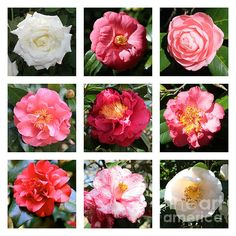 """""""Beautiful Camellias Collage"""" by Carol Groenen  #camellias #camellia #springflowers #carolgroenenflorals"""