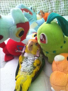 White Bellied Caique playing with stuffed animals