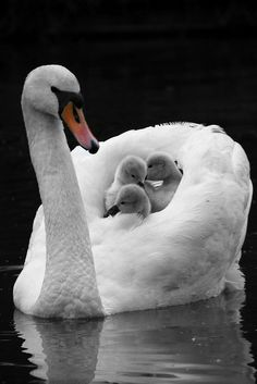 Trumpet Swan with Cygnets on back. - by Oliver Vessey Beautiful Swan, Beautiful Birds, Animals Beautiful, Animals And Pets, Baby Animals, Cute Animals, Bird Pictures, Animal Pictures, Swans