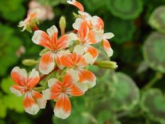 Geranium Flower, Strange Flowers, Short Hairstyles For Women, More Pictures, Houseplants, Planting Flowers, Exotic, Lady, Rose