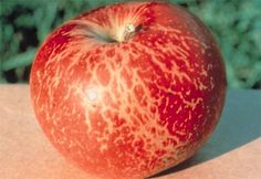 russet: brownish, roughened areas resulting from cork formation (net russeting on apple caused by powdery mildew)
