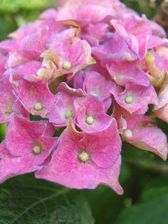 love pink, pink flower, my garden, spring