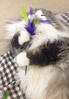 Hyne, Norwegian Forest Cat おもちゃに夢中のハイネ