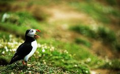 2017-03-07 - puffin image: Full HD Pictures, #1858022
