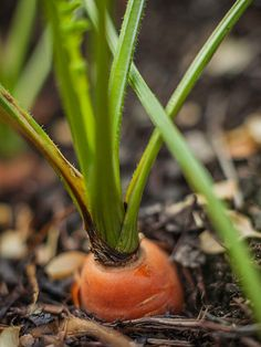 Carrots pack a punch of beta-carotene inside their tasty and beautiful skins. Learn how to grow carrots in your garden for a homegrown taste that those store-bought carrot sticks can't compete with.