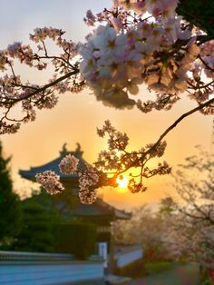 満開の桜と朝日♪ Cherry blossom and the rising sun. beautiful scenery of Japanese spring  https://instagram.com/p/Bg4hj2tA4-x/