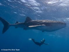 How close can you be with a huge whale shark, taken in South Male, Maldives.