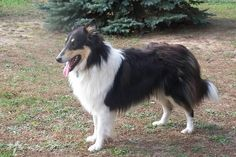 Gracehaven: Old-Fashioned Scotch Collies  Chance