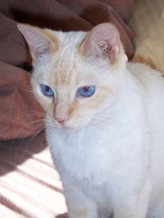 Flame Point Siamese. I've had at least one of these for the last 17 years.  Sweetest natured cats EVER!
