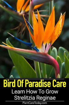 Bird Of Paradise Plant Care: How To Grow Strelitzia Reginae Bird of Paradise plant (Strelitzia reginae) colorful open flowers resemble exotic bird, enjoys sunny weather, attracts birds, slow grower, [CARE DETAILS] Slugs In Garden, Garden Plants, House Plants, Birds Of Paradise Plant, Birds Of Paradise Flower, Bougainvillea, Outdoor Plants, Outdoor Gardens, Strelitzia Plant