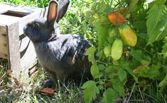 Lobes of Love: Eating Rabbit Liver - Modern Farmer. Nice simple recipe for basic rabbit liver pate