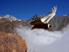 Andes Condor's Flight on Colca Canyon - Arequipa Region - Peru Condor Des Andes, Central America, South America, Andes Mountains, Mendoza, Birds Of Prey, End Of The World, Day Trip, Eagles