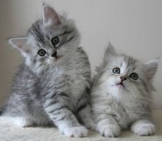 Siberian Forest Kittens ... these little guys look just like our cat, Tiki, did when he was a kitten!