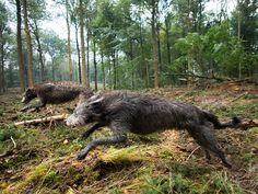 Deerhounds on the hunt! Magical. Scottish deerhound. #deerhound