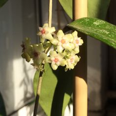 Hoya parasitica ''Lao''