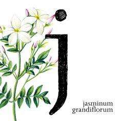 "Tipografía ""Joanna"" y flor del jazmín #36daysoftype03 #36days_J #36daysoftype"