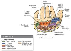 Compartments of the hand Purple: adductor pollicis 1st dorsal interosseous dorsal to 1st MC