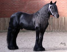 Mini Fresian!! Actually a Fell Pony but that's irrelevant, I NEED THIS.