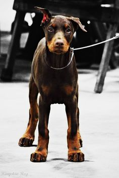 12 Best Dog/Dobe love images in 2012 | Doberman love