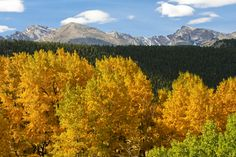 Aspens and evergreens in the Colorado Rockies