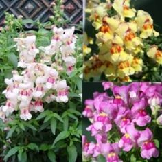 "Antirrhinum anthirodora ""heady scent"""