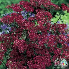 Achillea millefolium 'Cassis' Zone: 2-9 An easy-to-grow perennial, an excellent choice for planting in hot, dry sunny locations. Excellent for fresh cutting, the flowers may also be dried or the ripe seedheads used in arrangements. Deadheading may encourage repeat blooming. Inclined to spread, so site this carefully or plan to reduce the clumps in size each spring. Trim back hard after the first flush of bloom to maintain a compact habit. Heat tolerant.