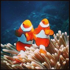 A Grande Barreira de Corais na Austrália é um dos melhores points de mergulho do mundo e uma das maravilhas do nosso planeta. Lá encontramos uma rica vida marinha e é fácil nos depararmos com esses peixinhos palhaço iguais o Nemo do desenho. Saiba mais no http://ift.tt/1LnX8YP #travel #viagem #australia #greatbarrierreef #dive #mergulho by dtudoumpoucoblog http://ift.tt/1UokkV2
