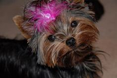 Yorkie Puppy, I will call her Molly