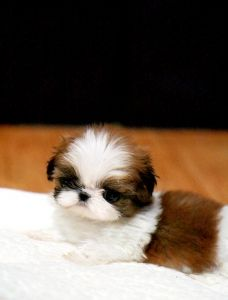 Imperial Shih Tzu pups.  Soooo cute!  Up to 7lbs as adults.  I'm in love!