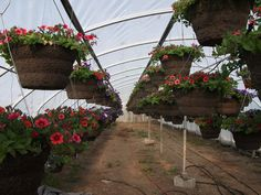 We offer a variety of sizes and styles to meet individual needs and desires. We also offer boxes of bedding plants of seasonal favorites in large quantities. Some favorites include Geraniums, Marigolds, and many more. Summer Months, Hanging Baskets, Geraniums, Lush, Photo Galleries, Bedding, Boxes, Yard, Meet