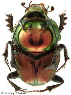 http://www.zin.ru/animalia/coleoptera/images/prngm.jpg